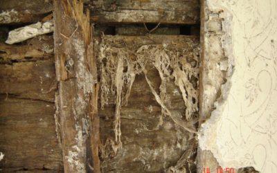 Porażenie drewna przez grzyba domowego